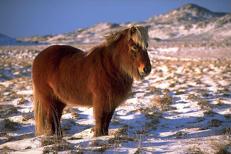 Caballo Islandés.